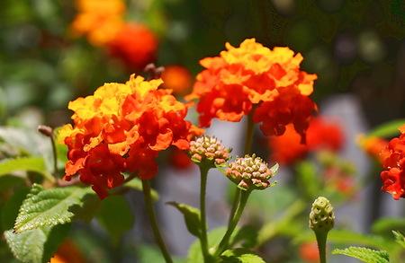 yarrow: Orange Yarrow