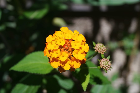 yarrow: Yellow Yarrow