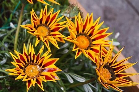Flowers of Gazania Gaertn