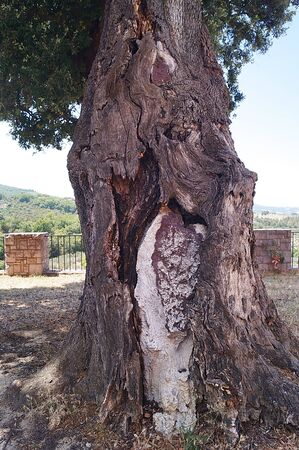 Secular tree in the abbey of San Felice, Umbria, Italy