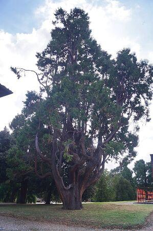 Secular tree in the park of Medici Villa in Poggio a Caiano, Tuscany, Italy