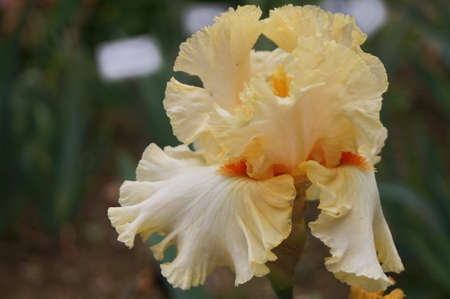 White iris with orange shades in a Florence garden