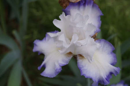 White iris with purple shades in a Florence garden