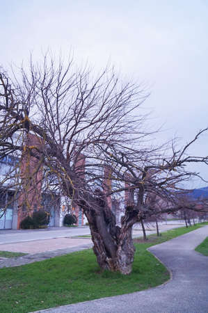 Secular tree in the plain of Sesto Fiorentino, Tuscany, Italy Stock Photo