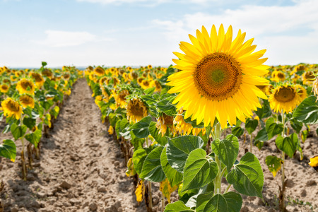 saturated color: sunflowers in the foreground of saturated color Stock Photo