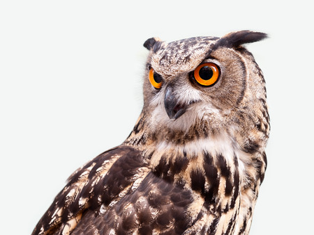 Eagle owl in closeup isolated on white background