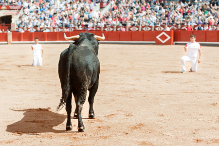 Trimmer bulls on the sand of the square