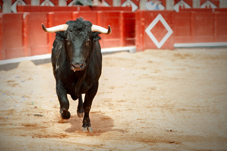 bullfight with the animal in the foreground Archivio Fotografico
