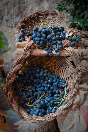 winemaker: isolated clusters of grapes on wicker basket
