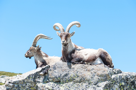 goat resting on the top of the mountain  Stock Photo