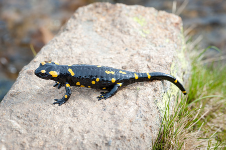 newts: salamander of black with yellow pigments on rock Stock Photo