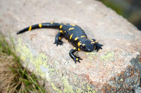 salamandre: salamandre de noir avec des pigments jaunes sur la roche