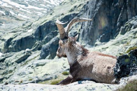 Ziege ruht auf dem Gipfel des Berges Standard-Bild - 81913201