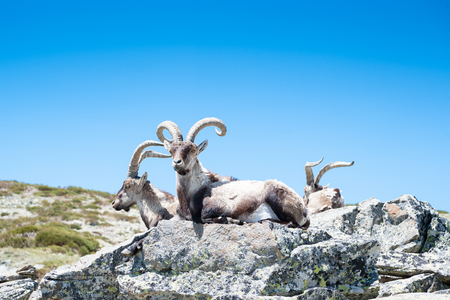wingspan: goat resting on the top of the mountain