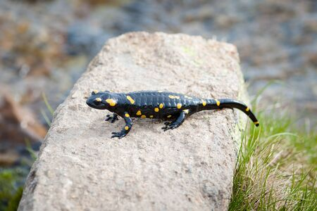 newts: Amphibian lying on the stone in the middle of their habitat