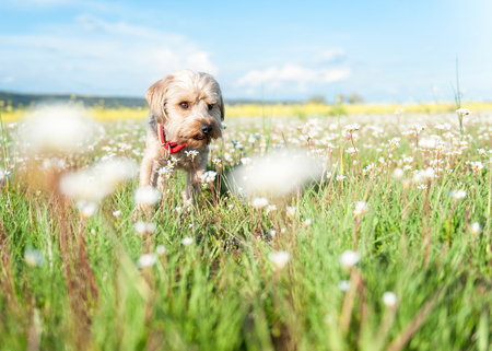 Yorkshire Terrier in the field with poppies and yellow rapeseed in the foreground Stock Photo - 102074441