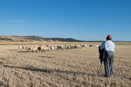 Sheep grazing in fields of mowed wheat with his shepherd and dog