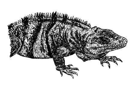 Naturalistic drawing of a lizard in black and white