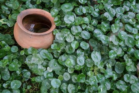 asiatica: Centella asiatica, herbs with clay pot