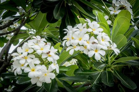 bouquet fleur: fleurs de frangipanier avec des feuilles sur fond vert