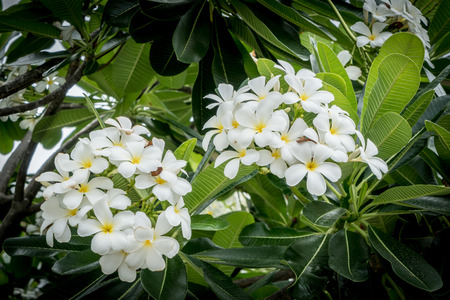 hawaiian flower: Plumeria flowers with green leaves background Stock Photo