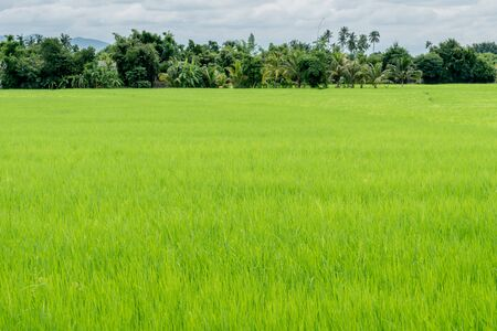 green fields: Green rice field in countryside of Thailand Stock Photo