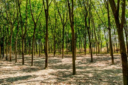 Reihe von grünen Gummibäumen