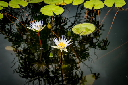 Blue white lotus flower and lotus green leaves in pond