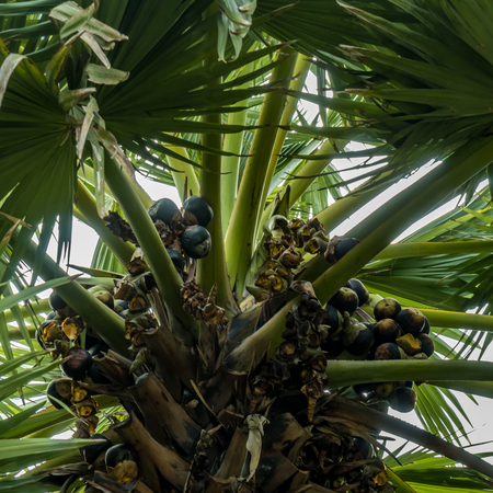 sugar palm: Part of sugar palm tree with palmyra fruits and green leaves