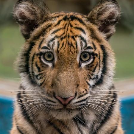 closeup image of bengal tiger's face Stockfoto