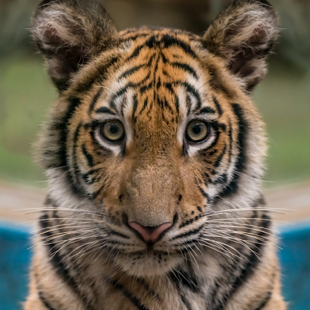closeup image of bengal tigers face