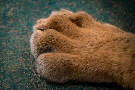 Close up image of lion foot