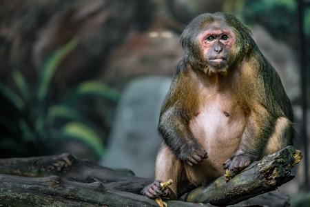 Old brown monkey sitting on branch