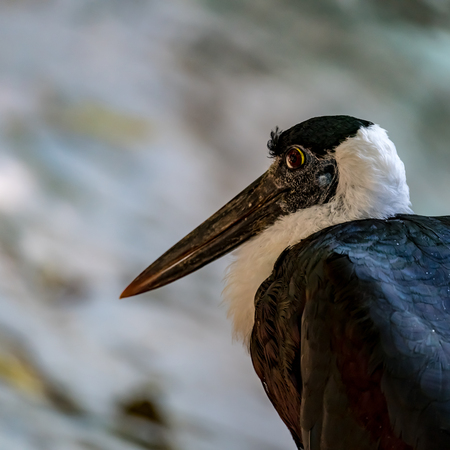 Close up image of White-necked Stork(Woolly-necked Stork)