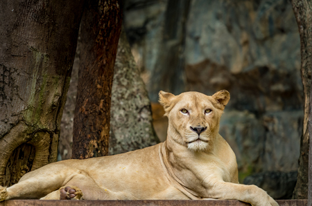 Female lion, Lioness on the ground