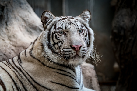 Close up image of white bengal tiger Banque d'images