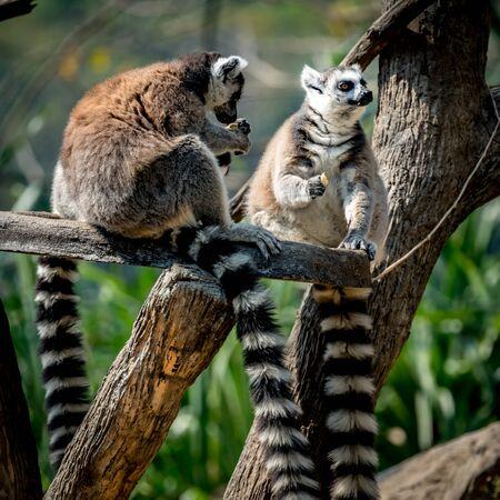 Image of Lemur sitting on branch