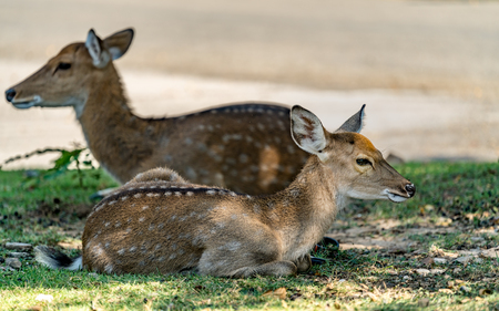 Brown Sika deer in car park