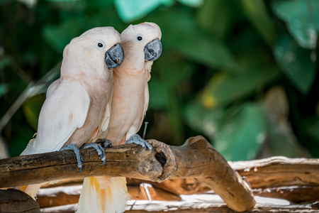 Two lover cockatoos on the branch