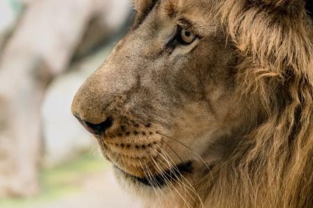 Closeup image of Lions face