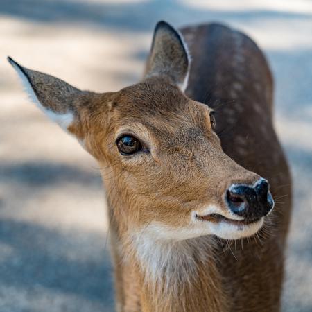 Closeup image of Brown Sika deer