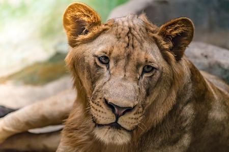 Closeup image of Female lion, Lioness Reklamní fotografie