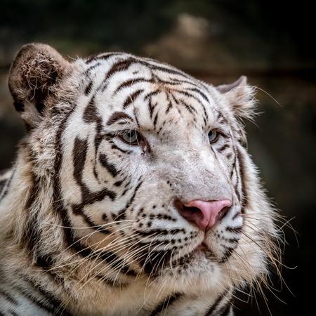 Closeup image of White bengal tiger Reklamní fotografie