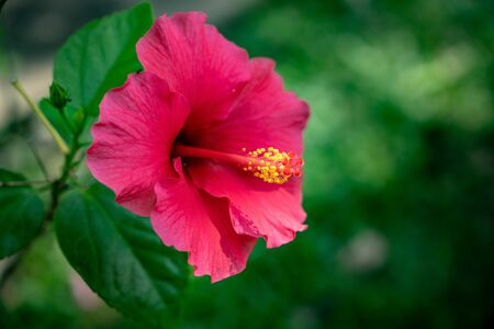 Bright pink hibiscus flower on blurred green nature leaves Zdjęcie Seryjne