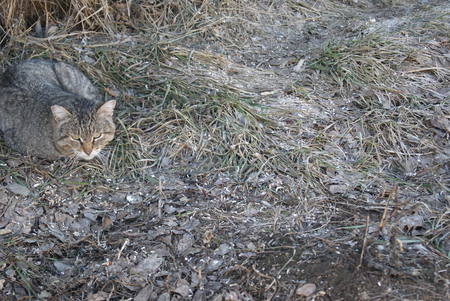 wallowing: Grey striped mongrel cat lying on grey grass on early spring and looking away attentively