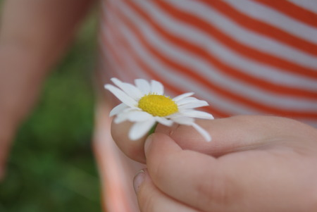 Child hand holding a flower daisy chamomile . Focus for flowers. Striped t-shirt on background
