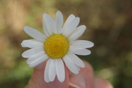 Child hand holding a flower daisy chamomile . Focus for flowers. Green grass on background