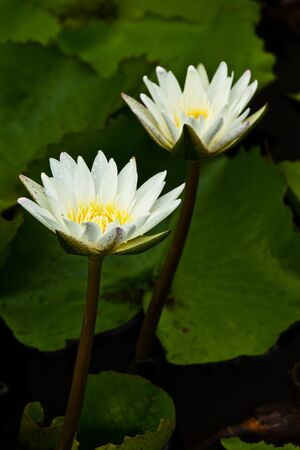 White lotus photo