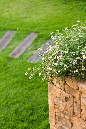 Little white daisy in square pot, decorated in the garden photo