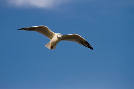 Seagull flying in the sky photo